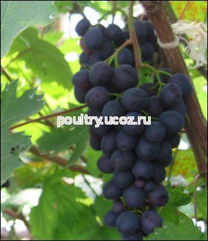 Мелкий белый сорт винограда